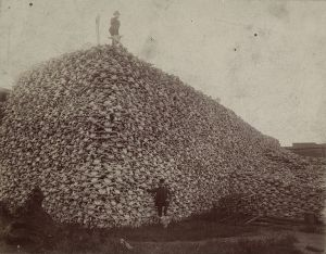Bison_skull_pile_edit